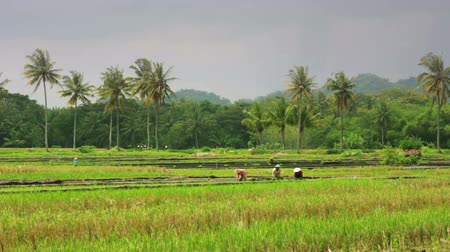 colheita : agriculture workers on rice field in bali Vídeos