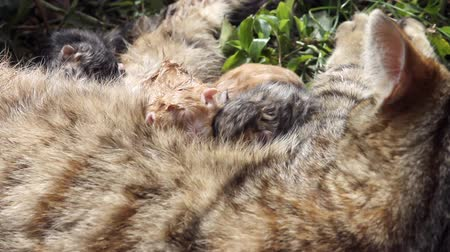 domestic short haired : 10 minutes old newborn cat baby 4 Stock Footage