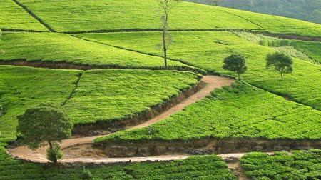 herbata : Sri Lanka tea garden mountains in nuwara eliya Wideo