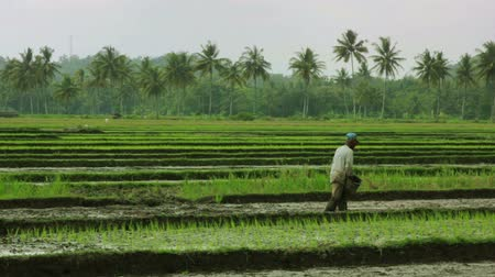 cultivo : agriculture workers on rice field in bali Vídeos