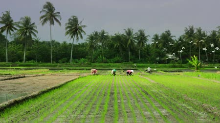 cereais : agriculture workers on rice field in bali Vídeos