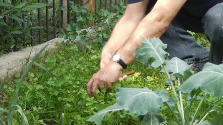 rolnik : Farmer gathers harvest  agriculture  cultivation crop  parsley