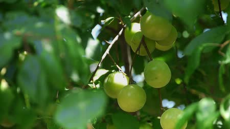 śliwka : Fresh green plum tree fruit  Wideo