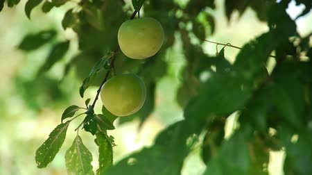 cultivar : Fresh green plum tree fruit  Vídeos