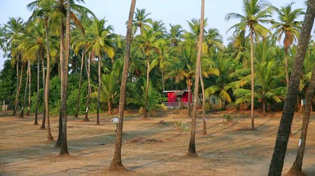 palolem : Palm trees in in idyllic grove Stock Footage