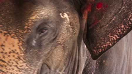 gentleness : Close-up view of elephant head Stock Footage