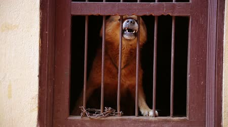 гнев : Dog barking locked in its cage