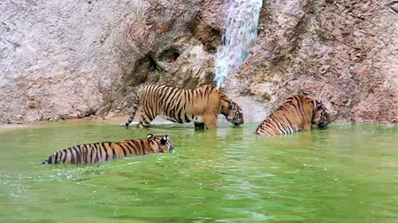 mnich : tiger temple Wideo