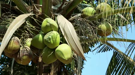 coconut palm tree : Close up of natural organic coconut tree Stock Footage