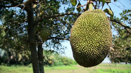 tajlandia : Jackfruit tree Wideo