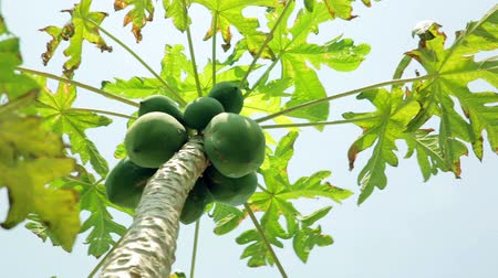 salad : Panning- Papaya tree