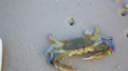 краб : Blue crab at beach Стоковые видеозаписи