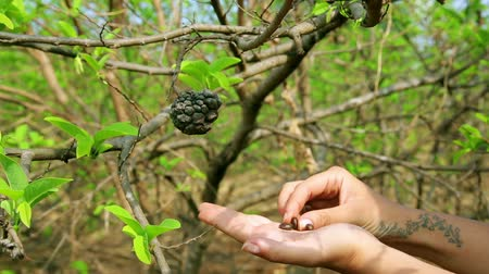 vagens : Showing coffee beans on tree by hand, close up Vídeos