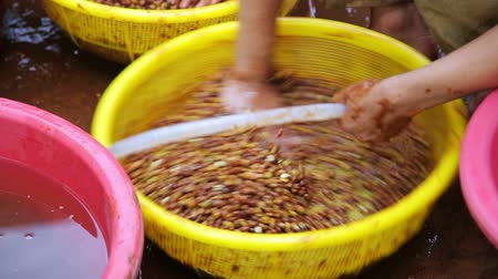 recentemente : farmers washing recently collected coffee beans before selling, laos
