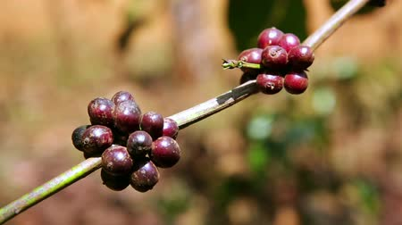 ягоды : Coffee tree plantation, close up, Laos