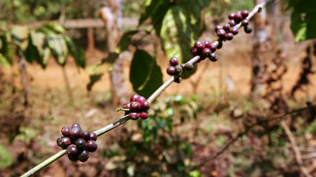 fresh coffee : Coffee tree plantation, close up, Laos