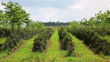 plantio : Industrial coffee tree plantation, farm, garden, Laos Stock Footage