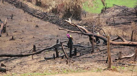 after fire : Akha Villagers Carry Back and Walking in Burnt Forest, Laos