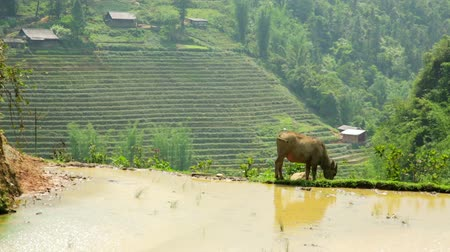 sapa people : farming plowing with ox, farm in Sapa, Vietnam, primitive tractor Stock Footage