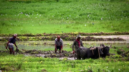 farmer animals : POKHARA, NEPAL - JUNE 2013: farmer plowing with ox Stock Footage