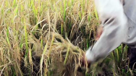 coconut palm tree : BALI - MAY 2012: workers on rice field Stock Footage