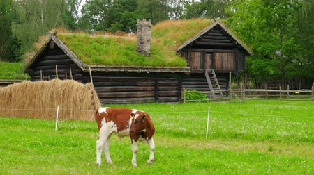 escandinavo : animal husbandry livestock breeding, norwagian village, green grass rooftop, norway
