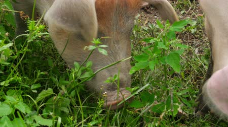 sheep pig : close up of pig grazing grass in farm Stock Footage