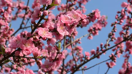 Beautiful pink peach tree flower blossoms in Japan during spring 2016