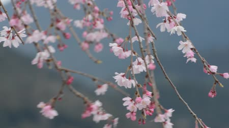 Pink and white blossoms dancing in the wind on a weeping cherry tree in Japan during spring 2016