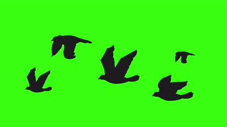 wild bird : Flock of birds silhouette flying on green screen. Seamless and looping animation.