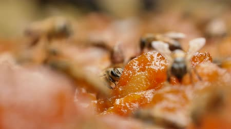 keeper : Bees find nectar on mango jam under the strong sunlight. Stock Footage