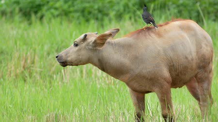 buvol : Water buffalo are eating grass in the field