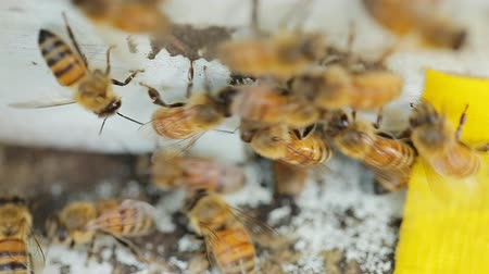 arı kovanı : Bees find food and keep in White bee boxes Selective Focus. Stok Video