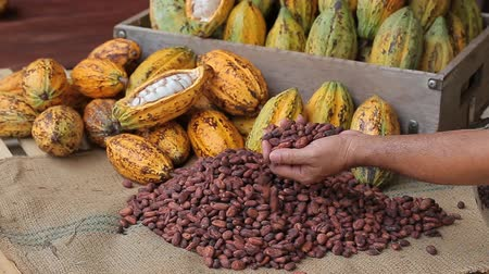соблазнять : Selection of completed cocoa seeds must be dried before into sacks Стоковые видеозаписи