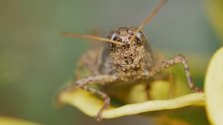 grasshopper : Close up Bombay Locust or Patanga succincta