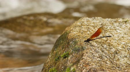 libélula : Dragonfly on a rock in a waterfall