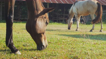 veulen : horses are grazing on grass in the meadow in the countryside