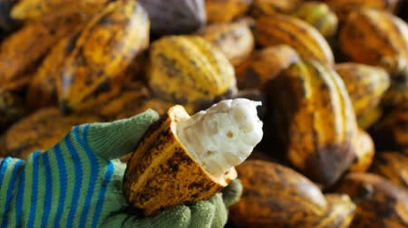 zámotek : man holding a ripe cocoa fruit with beans inside and Bring seeds out of the sheath. Dostupné videozáznamy