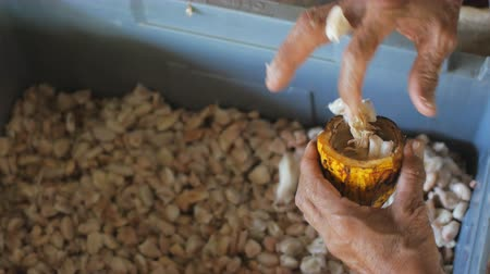 bitter : man holding a ripe cocoa fruit with beans inside and Bring seeds out of the sheath. Stock Footage