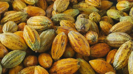 sementes : Selection of completed cocoa pod in box