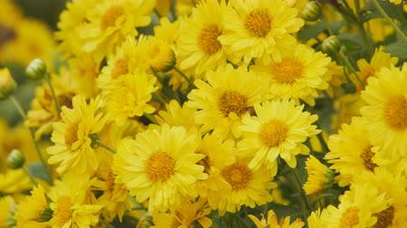 chryzantema : Yellow Chrysanthemum flowers in the garden.