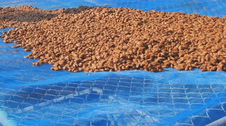 kurutma : Fermented and fresh cocoa-beans and Drying Process