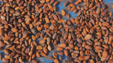 smak : Fermented and fresh cocoa-beans and Drying Process