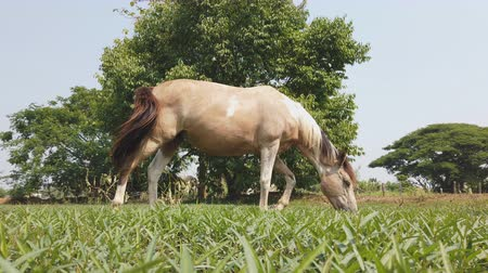 pastar : Brown horses graze in the fields