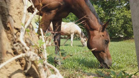 égua : Brown horses graze in the fields