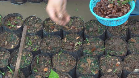 fasola : Growing cocoa with cocoa beans in cocoa farm