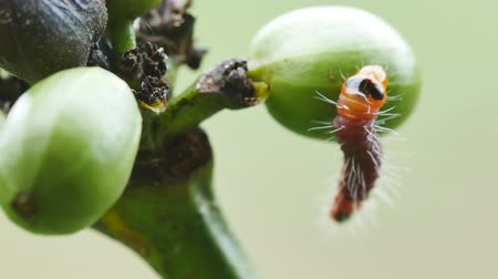 folha : coffee stem borer. Diseases and pests affecting coffee plants. Selective focus. Stock Footage