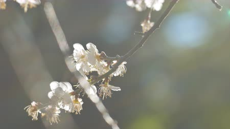japonya : Close up of Write Plum flower blooming in spring