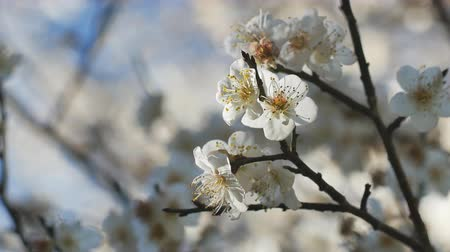 雄しべ : Close up of Write Plum flower blooming in spring
