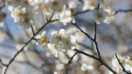 estames : Close up of Write Plum flower blooming in spring